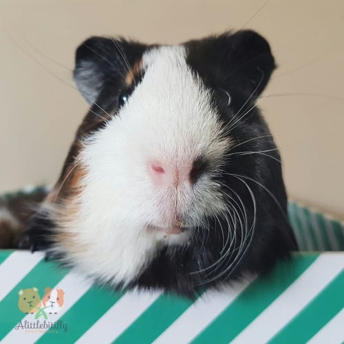 George - Smooth Hair Guinea Pig