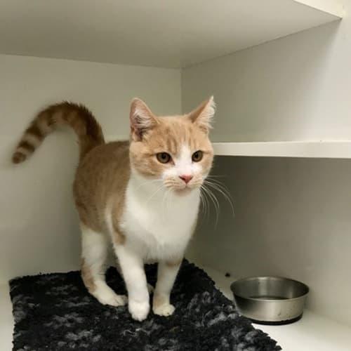 Benji  - Domestic Short Hair Cat