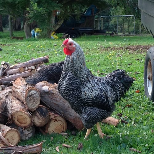 Roosters for adoption! -  Chicken