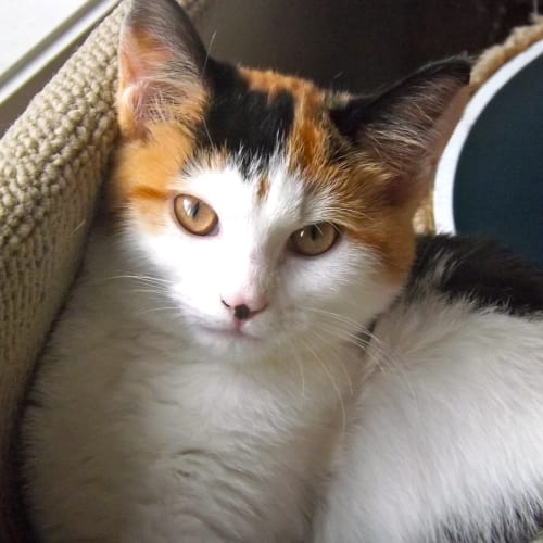 Bronte (Located in Werribee) - Domestic Short Hair Cat