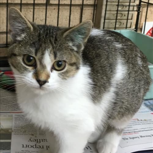 Milly - Domestic Short Hair Cat