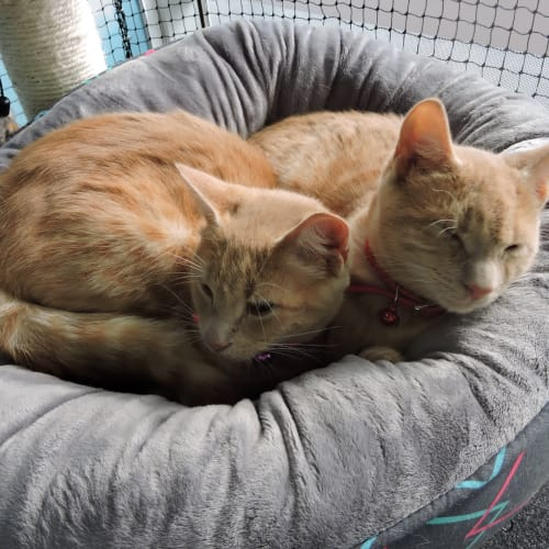 Jack and Jake (Bonded Pair) - Domestic Short Hair Cat