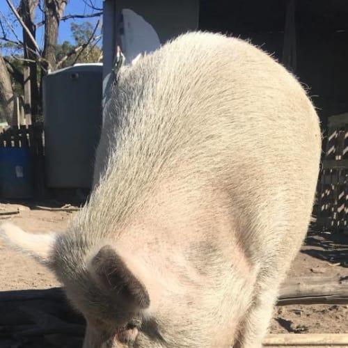 Hercules -  Pig