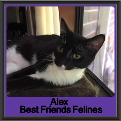 Alex - Domestic Short Hair Cat