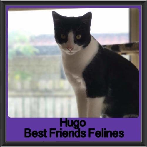 Hugo - Domestic Short Hair Cat