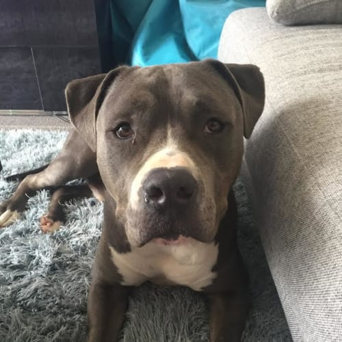 Winston DL1530 - American Staffordshire Terrier Dog