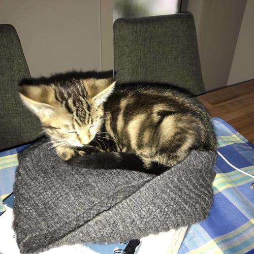 Narlah - Domestic Short Hair Cat
