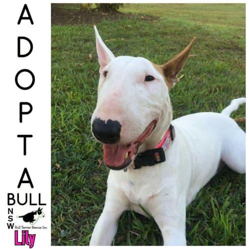 Adoptabull - Lily - Bull Terrier Dog