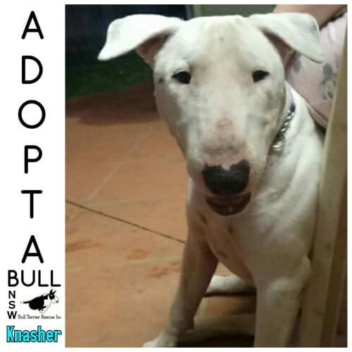Adoptabull - Knasher - Bull Terrier Dog