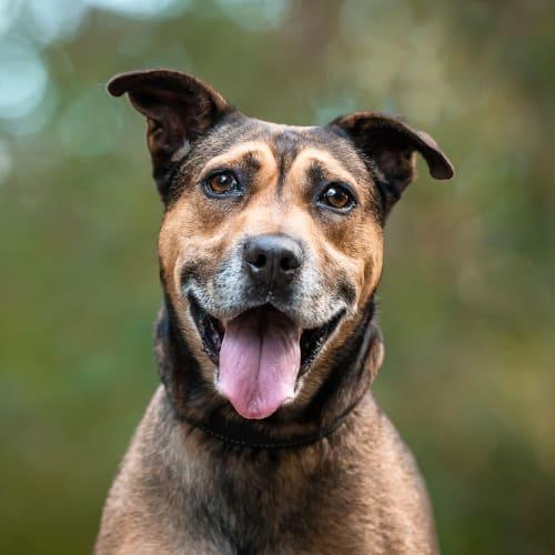 Darren - Kelpie x Staffordshire Bull Terrier Dog