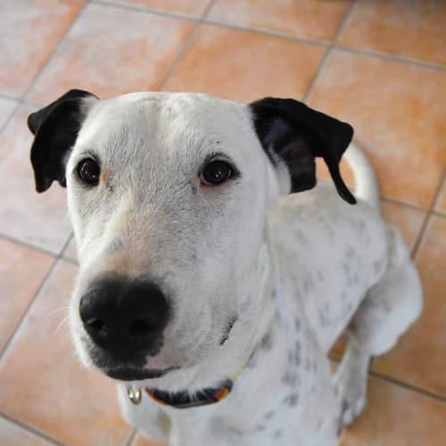 Matilda  - Bull Arab x Wolfhound Dog