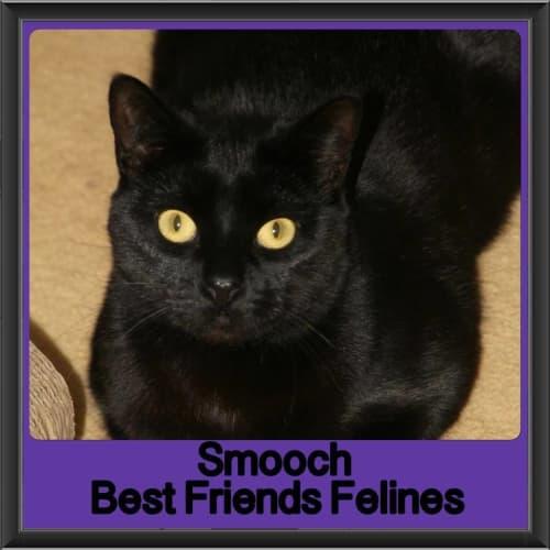 Smooch - Domestic Short Hair Cat