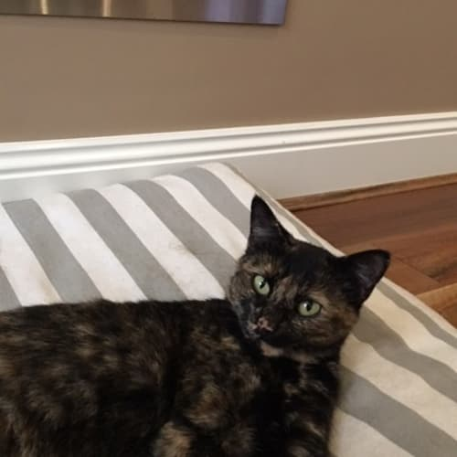 Allie (Located in Wantirna South) - Domestic Short Hair Cat
