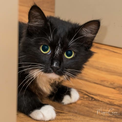 Bonnie IF014-17 - Domestic Medium Hair Cat
