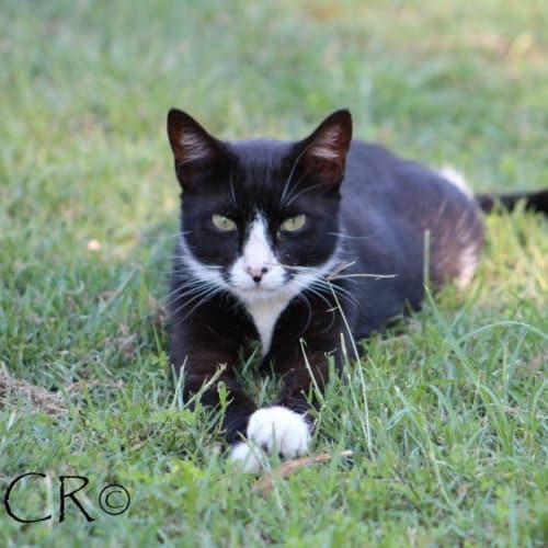 Louise Slattery - Domestic Short Hair Cat