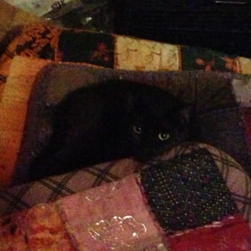 Bennie **On Hold** - Domestic Short Hair Cat