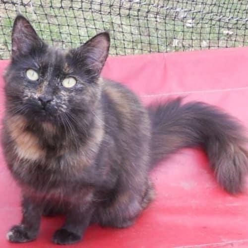 Hannah & Hayleigh (torti sisters) - Domestic Short Hair Cat