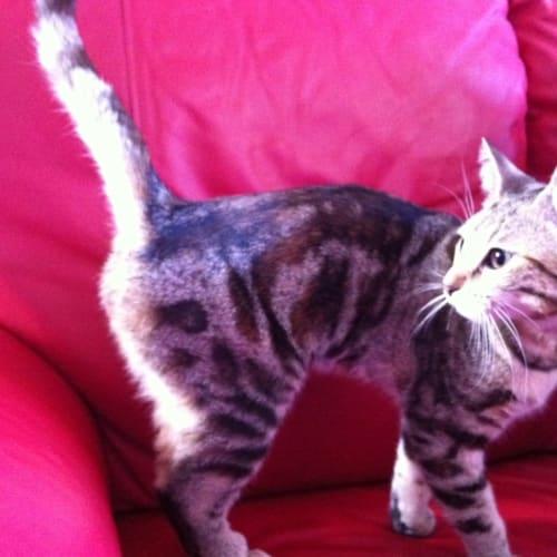 Morticia - Domestic Short Hair Cat