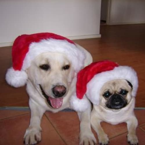 Max (Lab) & Wilson (Pug)