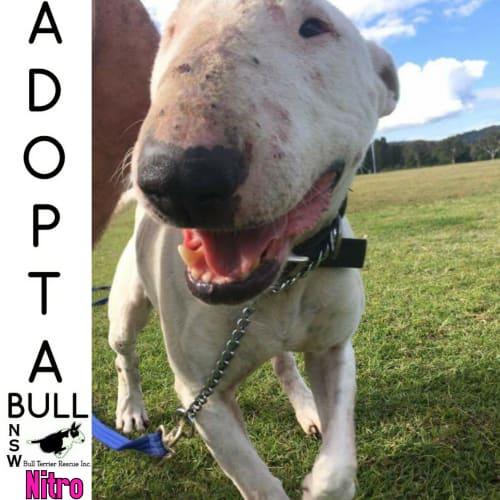 Adoptabull - Nitro - Bull Terrier Dog
