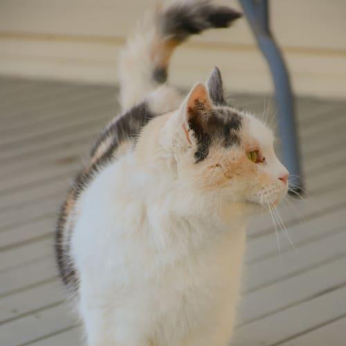 Alina - Domestic Short Hair Cat