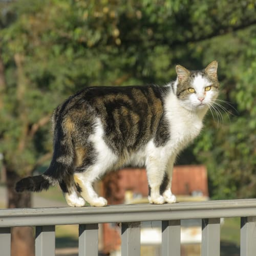 TC - Domestic Short Hair Cat