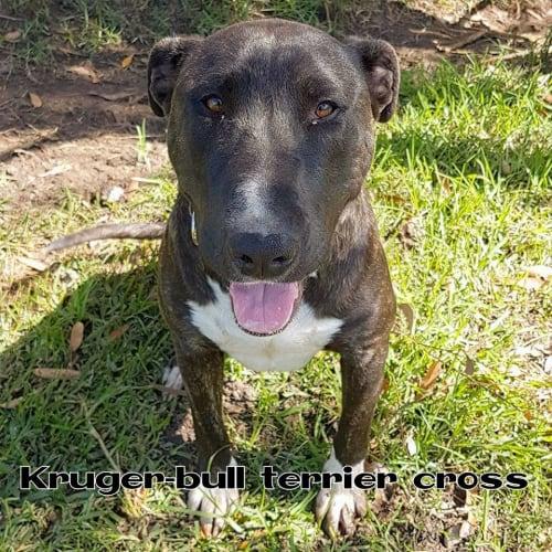 Kruger - Bull Terrier Dog