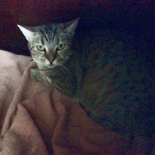 AC0567- Lola - Domestic Short Hair Cat