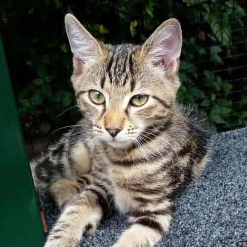Brick - Domestic Short Hair Cat