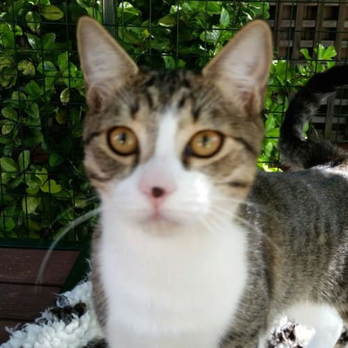 Tennessee - Domestic Short Hair Cat