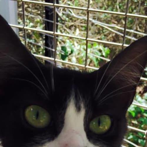 Miss Mo - Domestic Medium Hair Cat