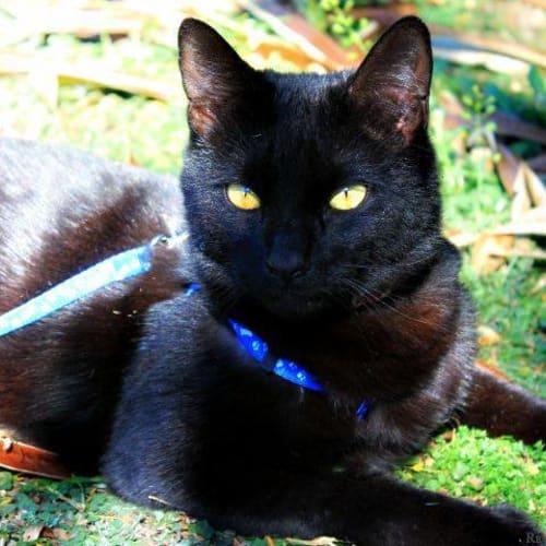 Cinders - Domestic Medium Hair Cat