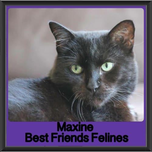 Maxine - Domestic Short Hair Cat