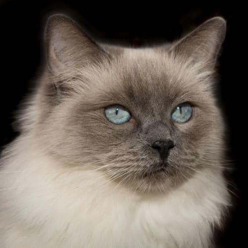 Winter & Rocky - Foster Carer Needed! - Ragdoll Cat