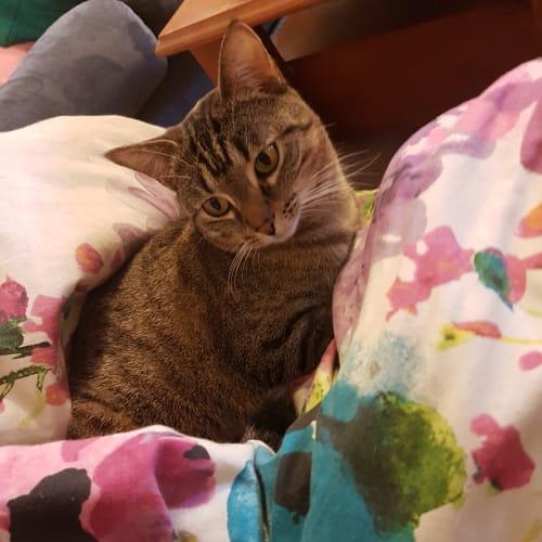 Pepper le Meow - Domestic Short Hair Cat