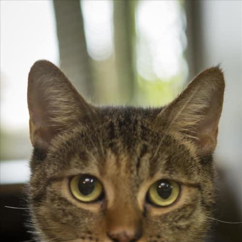 Gretel - British Shorthair x Domestic Short Hair Cat