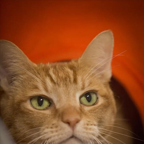 Tinker - Domestic Short Hair Cat
