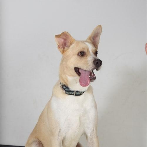 Toby - Chihuahua x Kelpie Dog