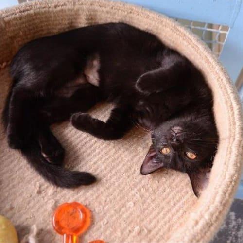 Shamwow - Domestic Short Hair Cat