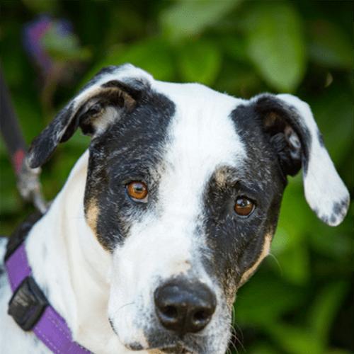 Makaila - Bull Arab Dog
