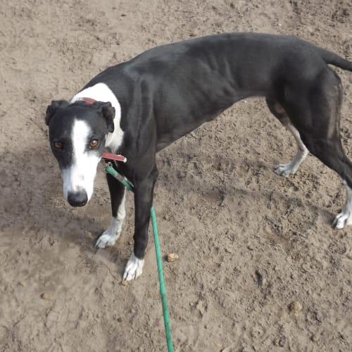 Susie - Greyhound Dog