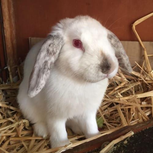 Pinky -  Rabbit