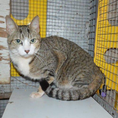 Queen Opal - Domestic Short Hair Cat