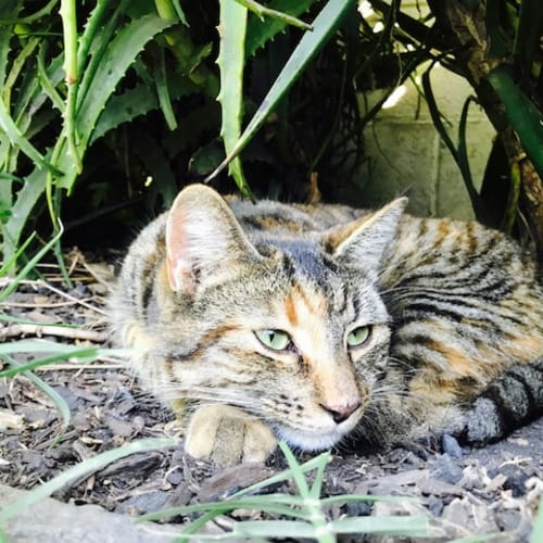 Fergie - Domestic Short Hair Cat