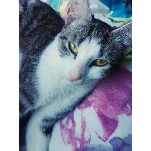 Arizona - Oriental Cat