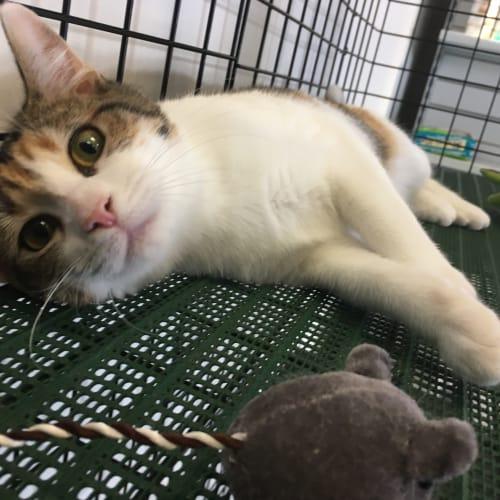 Amira - Domestic Short Hair Cat