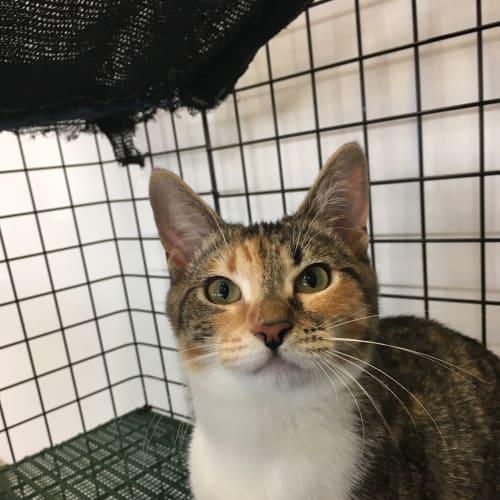 Allera - Domestic Short Hair Cat