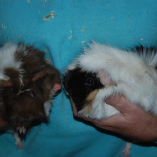 Biscuit - Abyssinian Guinea Pig