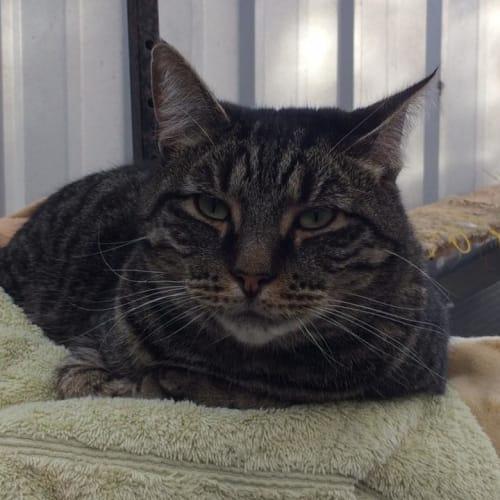 Tabby Boy 1 - Domestic Short Hair Cat