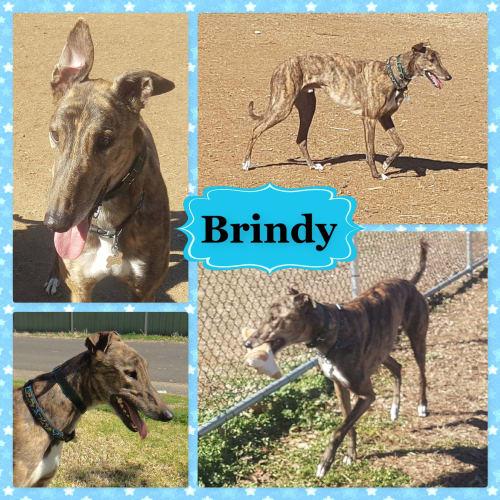 Brindy - Greyhound Dog